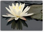 LotusFlower