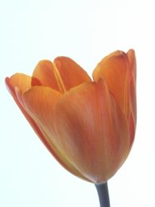 tulips HFJ 18