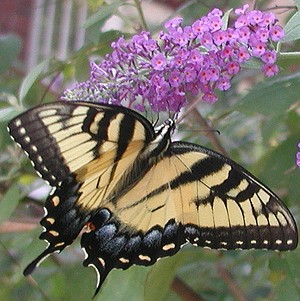 butterfly on the butterfly bush by Monica Cassani