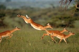gazelle-leaping1[1]