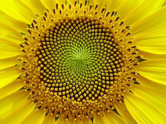 science sunflower