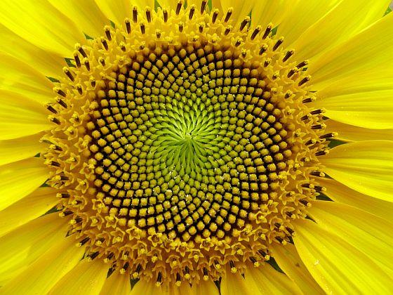 science sunflower