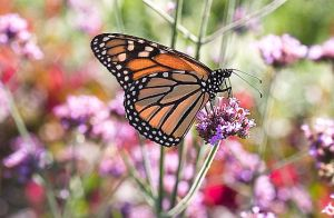 1monarch-butterfly