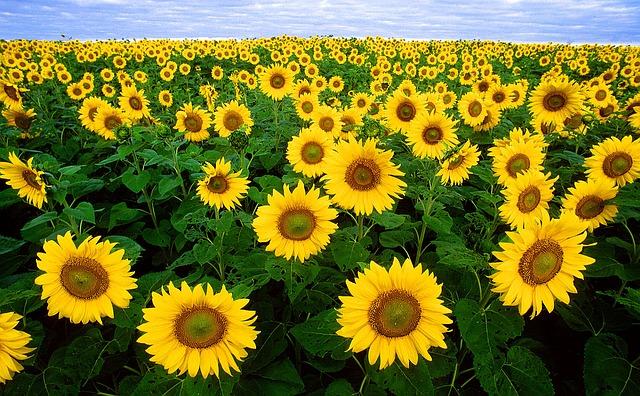 sunflower-11574_640
