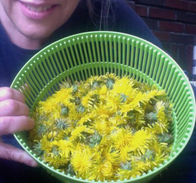 Today's harvest of dandelion flowers