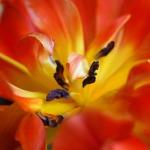 tulip-713250_1280