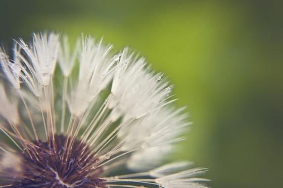 dandelion-596533_640