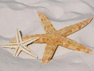 starfish-343791_640