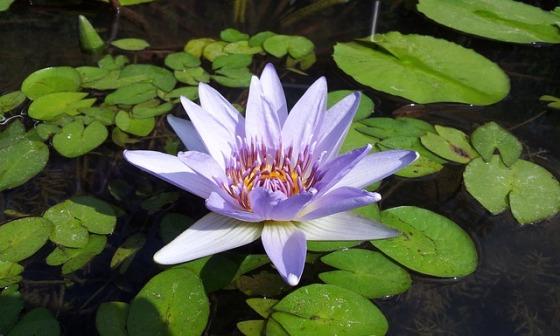 lotus-832971_640