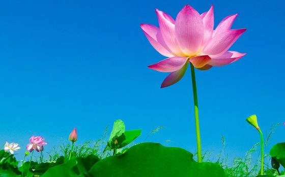 lotus-563456_960_720