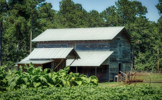 tobacco field and barn...