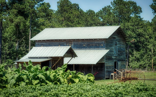 tobacco field and barn...