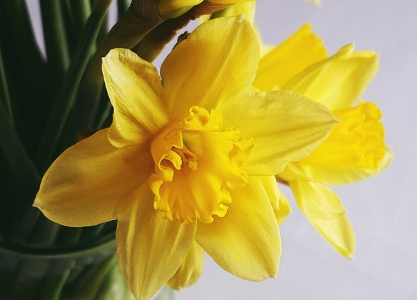 did you know that daffodils are narcissus flowers?